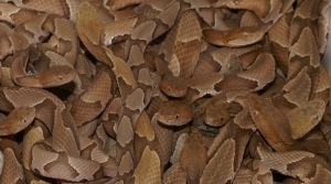 Beautiful-brown-Copperhead-snake-photos (12)