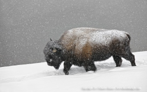 Bison in snowstorm, Yellowstone NP